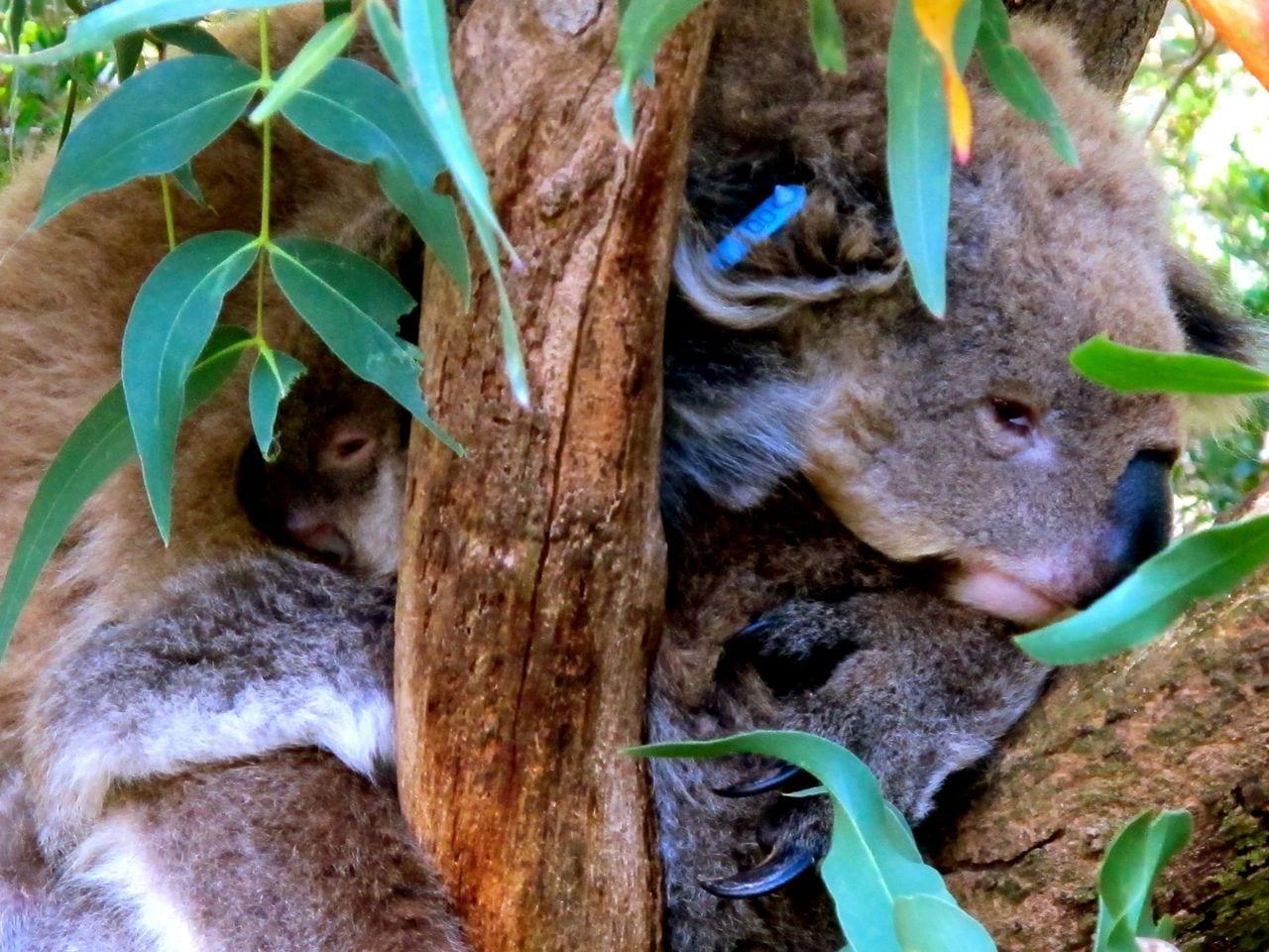 Mama and baby koala, Melbourne, Australia