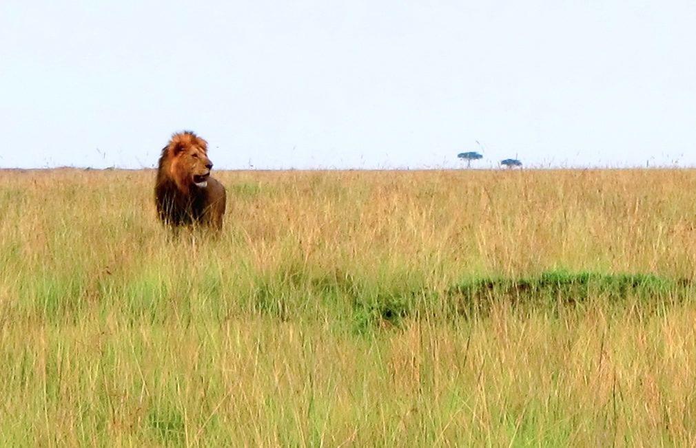 Lion roar Kenya Africa