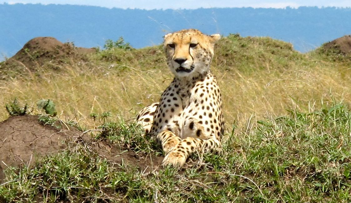Cheetah Kenya Africa Masai Mara