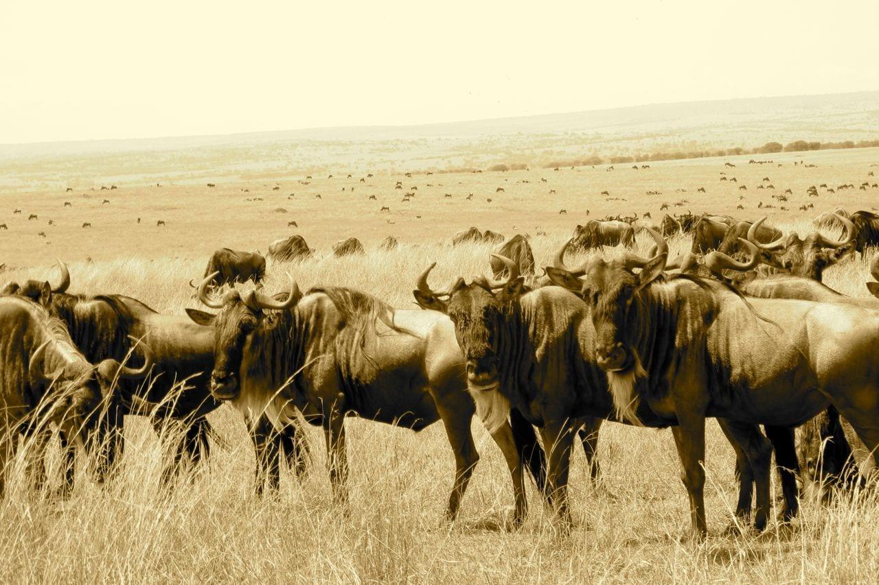 Blue Wildebeests at Sunrise, Masai Mara, Kenya  № 1443735 бесплатно