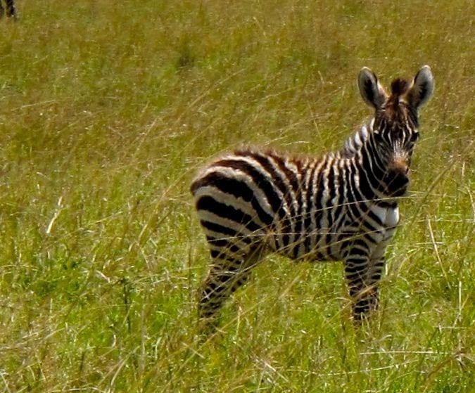 Baby Zebra Africa Kenya Masai Mara safari