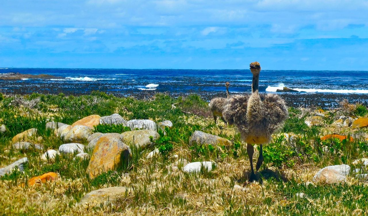 Wild ostrich Cape of Good Hope