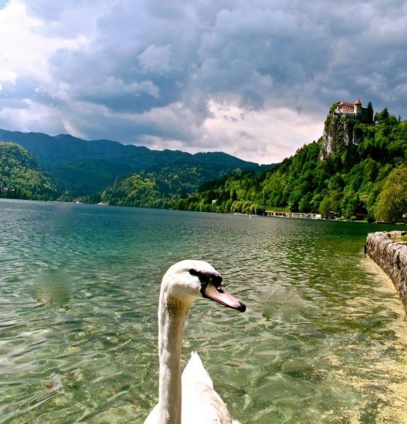 Swan, Lake Bled, Slovenia