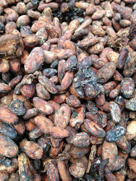 Cocoa beans in the Dominican Republic