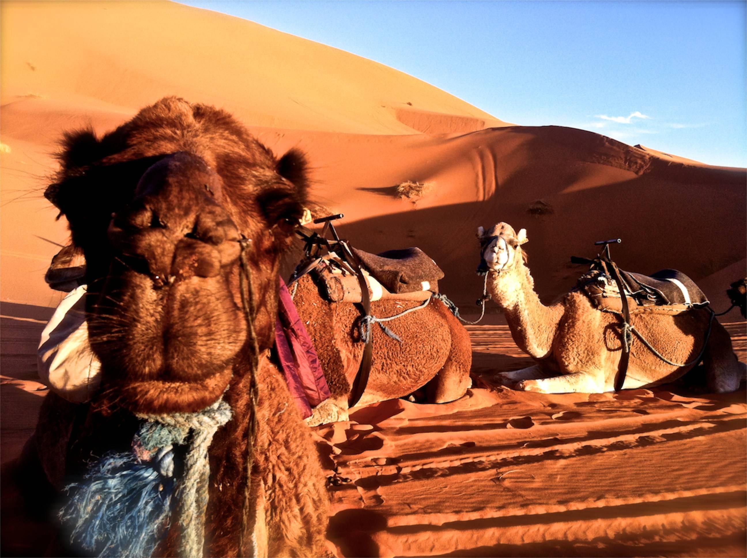 Camel kids essay