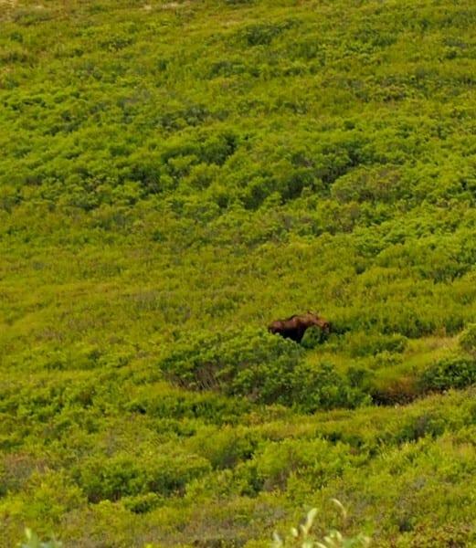 A moose in Denali