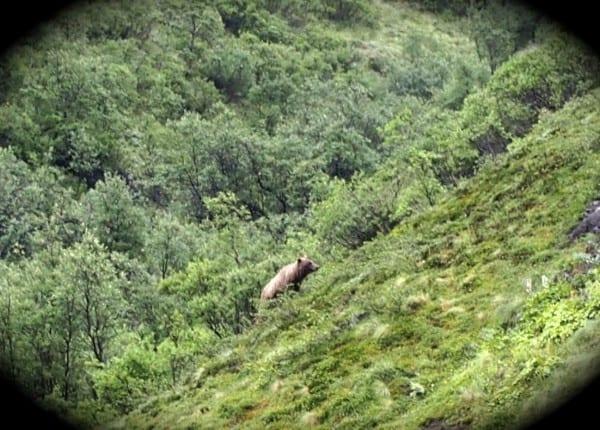 Bear Denali National Park Alaska