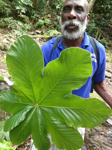 The best rainforest guide ever, Mr. O'Neil Mulraine. He knew EVERY plant, tree, shrub & creature!