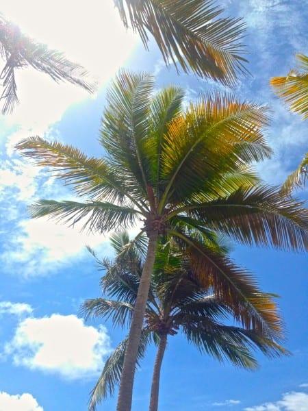 El Conquistador Palm Tree Puerto Rico