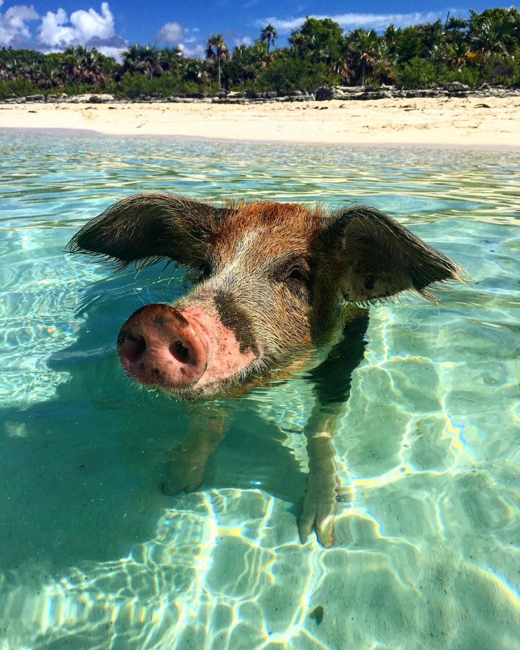 Swimming Pig Exuma Bahamas