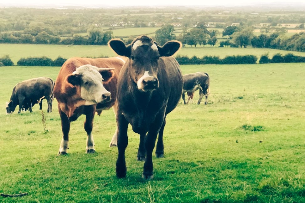 Cows in the Cotswolds